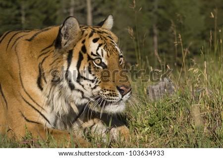 A Siberian Tiger Close Up - stock photo