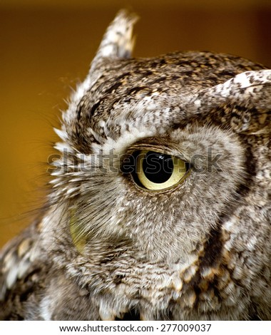 A side profile of an Eastern Screech Owl   - stock photo