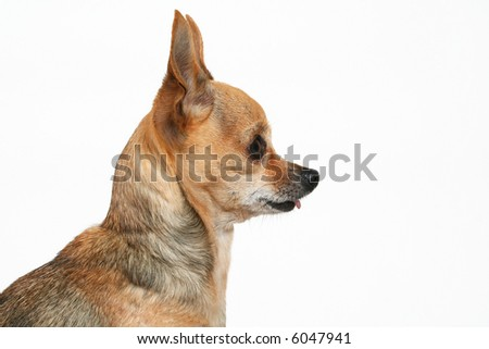 a side view of a tiny chihuahua - stock photo