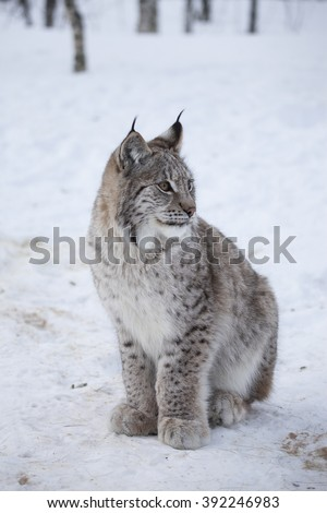 A side view profile of a Lynx wildcat lying in deep snow during a Norwegian winter.Troms. - stock photo