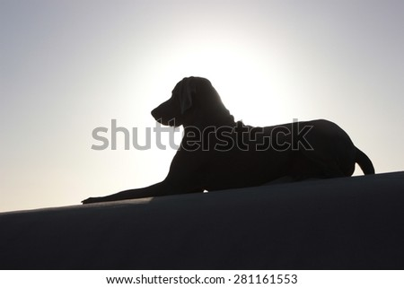 A silhouette of a weimaraner dog on the beach. - stock photo