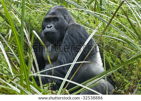 """A silverback gorilla of the sub-species """"Eastern Lowland Gorilla"""" (gorilla beringei graueri). Shot in wildlife (this is not a zoo-shot!) in the Eastern part of the Democratic Republic of Congo. - stock photo"""