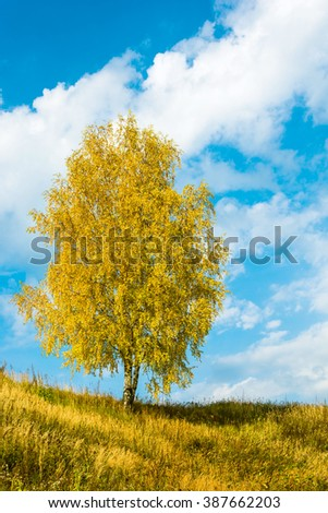 A single birch tree with bright yellow leaves against the blue sky with white clouds.  - stock photo