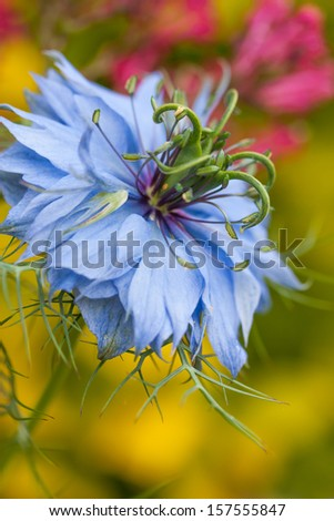 A single blue love-in-a-mist flower,stands out against a yellow and pink background. - stock photo