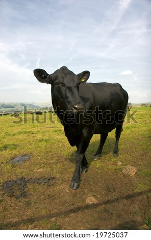angus black singles How to raise black angus cattle black angus or angus cattle are beef cattle that can be raised in a variety of conditions, from on a ranch where the cattle have to pretty well look after themselves, to the feedlot.