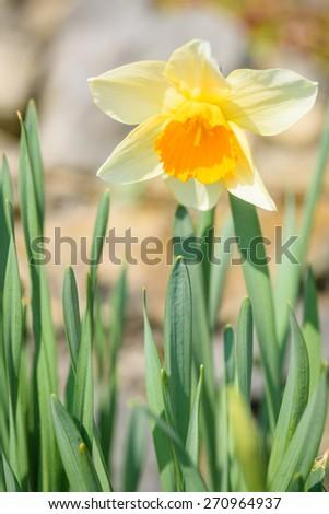 A single daffodil - stock photo