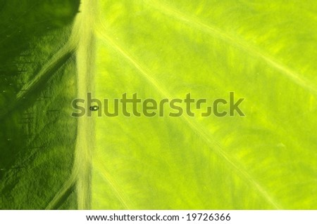 A single drop of dew on a lush, vivid green tropical leaf of taro - stock photo