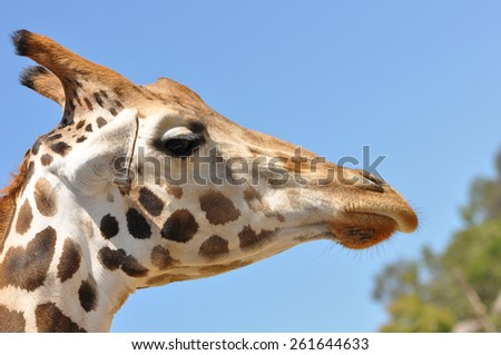 A single giraffe profile closeup against a bright blue sky - stock photo