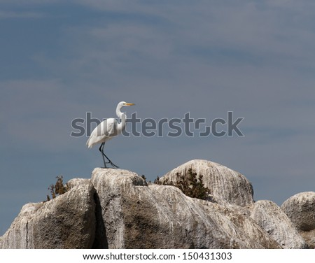 a Single Great Egret at Monterey Bay, California - stock photo