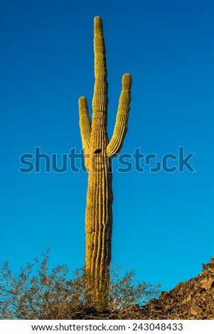 A single green Saguaro cactus on a ridge in Arizona - stock photo