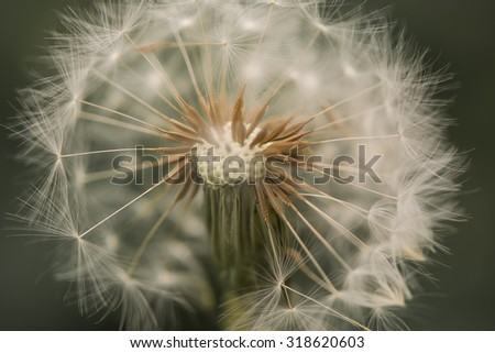 A single isolated dandelion head that has gone to seed, in close up and in cropped view. These are also known as blowballs or clocks. - stock photo