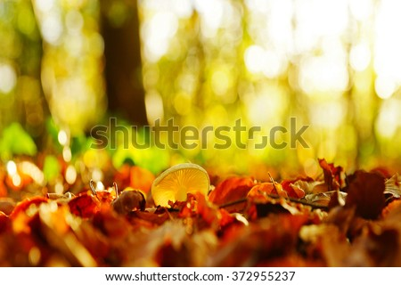 A single Poisonpie Fungus, Hebeloma crustuliniforme, selective focus and contre jour, in a woodland glade with a bokeh diffused Autumn background, The Plantation, Painswick Gloucestershire, UK - stock photo