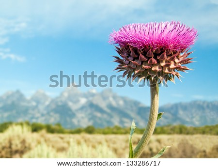 A single purple thistle wildflower is backed by the Cathedral Group of the Teton Range in Grand Teton National Park, Wyoming. - stock photo