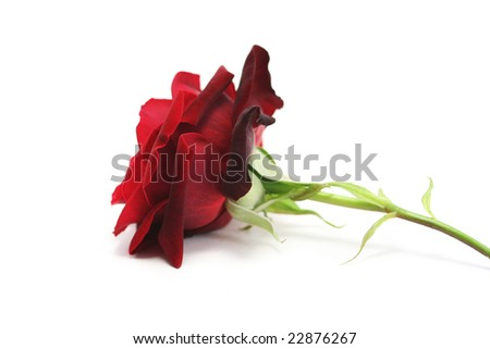 A single rich red rose on a white background, viewed from the side - stock photo