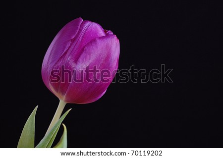 A Single, Stunning Purple Tulip on a Black Background with Room for Text - stock photo