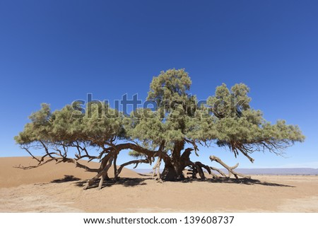 A single Tamarisk tree (Tamarix articulata) in the Sahara desert against clear blue sky. - stock photo