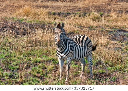 a single zebra in South Africa looking at the viewer - stock photo