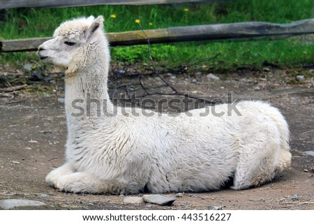 A sitting alpaca. - stock photo