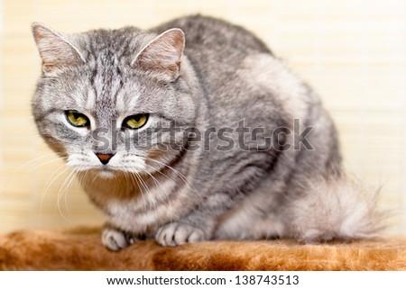 A sitting grey tabby cat  - stock photo