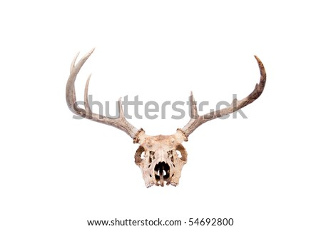 a skull and antlers of a whitetail buck - stock photo