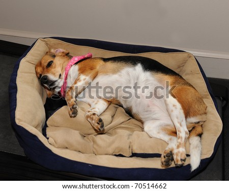A Sleeping Beagle - stock photo