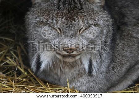 A sleeping Bobcat (Lynx rufus). - stock photo