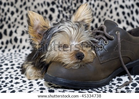 A sleeping Yorkshire Terrier puppy on a shoe, leopard print background, selective focus, horizontal with copy space - stock photo