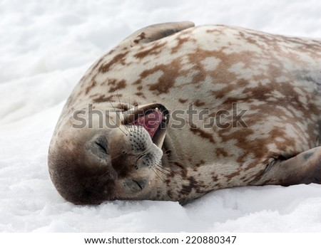 A sleepy Grey Weddell seal yawning in Antarctica. - stock photo