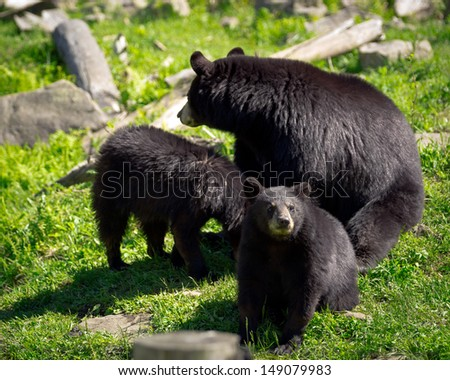 A sleuth, or group, of three American black bears (Ursus americanus), a mother bear and two of her cubs, sit in a rocky field. - stock photo