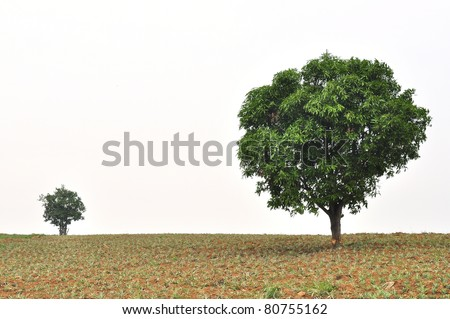 A small and big tree with new leaf growth standing in a pineapple field - stock photo
