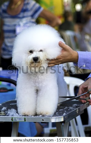 A small beautiful fluffy and adorable white bichon frise dog being groomed and having its coat trimmed by a professional groomer using special products and making its coat clean and fluffy. - stock photo
