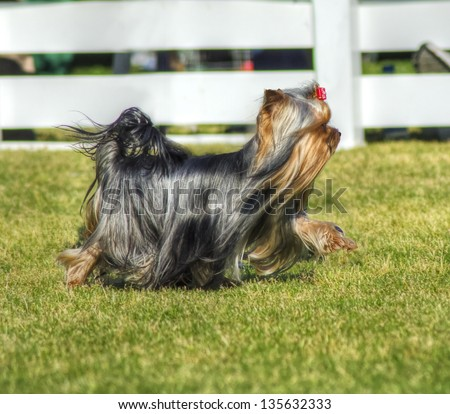 A small beautiful gray black and tan Yorkshire Terrier dog walking on the grass, having its head coat braided. - stock photo