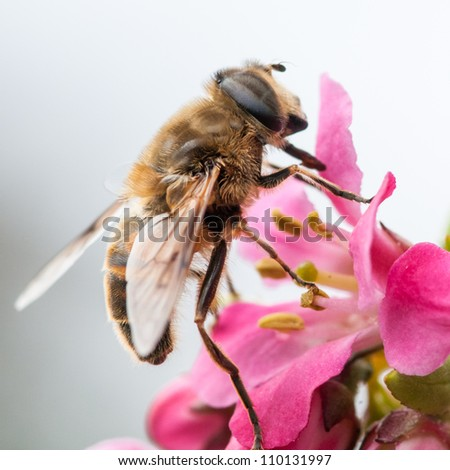 A small bee scales the escallonia blooms. - stock photo