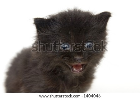 A small black kitten on a white background. These kittens are being raised on a farm in central Illinois - stock photo
