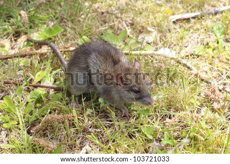 A small, brown field mouse sits in short grass observing/Small Field Mouse/A small field mouse in the grass - stock photo