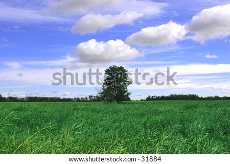 A small clump of trees in the middle of a farmers green canola field. - stock photo