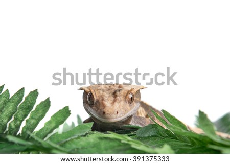 A small Crested gecko is staring at the camera, isolated on white with room for text above - stock photo