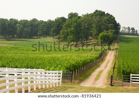 A small dirt road leads back from through the corn field to the trees in the background. - stock photo