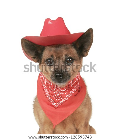 a small dog in a cowboy outfit - stock photo
