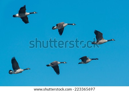 A small flock of Canada Geese flying south for the winter. - stock photo
