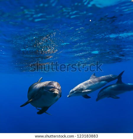 A small flock of dolphins playing in sunrays underwater - stock photo