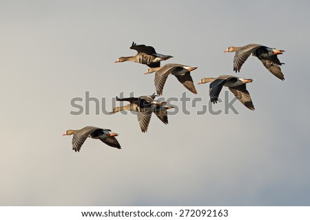A small flock of greater white-fronted geese fly into the afternoon sunlight against a cloudy sky. - stock photo