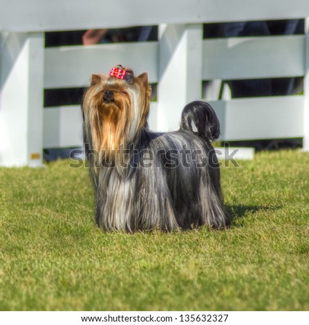 A small gray black and tan Yorkshire Terrier dog standing on the grass, having its head coat braided. - stock photo