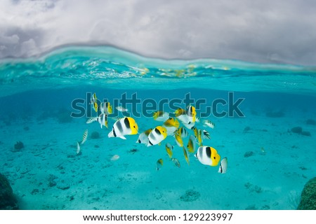 A small group of Double saddled butterflyfish (Chaetodon ulietensis) swim in shallow water near Bora Bora in French Polynesia. - stock photo