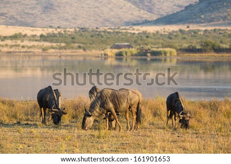 A small herd of blue wildebeest grazing next to a dam in Pilanesberg National Park - stock photo