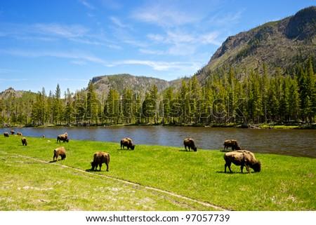 A small herd of Yellowstone National Park buffalo graze alongside a western river. - stock photo