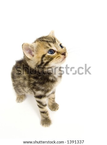 A small kitten looks up while standing on a white background. This kitten is being raised on a farm in central Illinois. - stock photo
