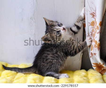 A small kitten plays with curtains. - stock photo