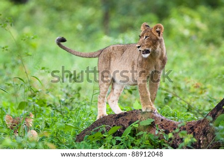 A small lion cub standing on a tree stump - stock photo
