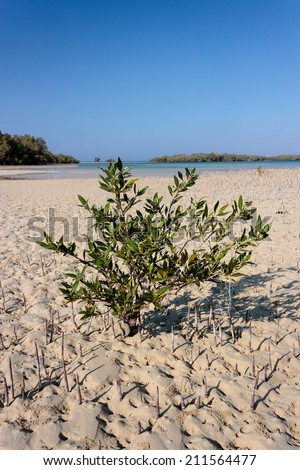 A small Mangrove tree in a Mangrove swamp - stock photo